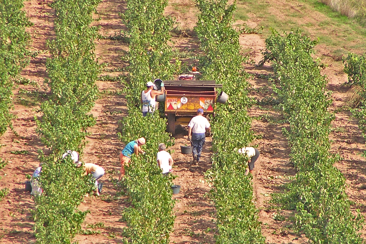 Grape pickers in France