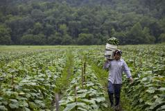 A migrant worker in Virginia carries cucumbers.