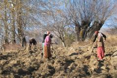 Tajik women working in a field