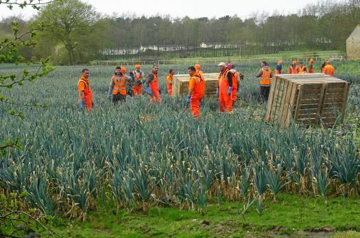 Seasonal workers harvesting leeks on a UK farm