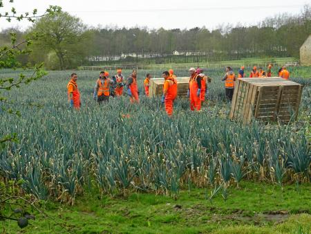 Seasonal workers harvesting leeks on a UK farm